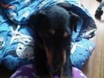 Mi perro - Male Jagdterrier (4 years)