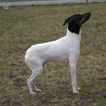 Japanese Terrier picture