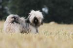 Le magnifique Iboubou de la Vallée Céleste - Tibetan Terrier