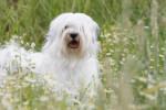 La jolie Féa de la Vallée Céleste - Tibetan Terrier