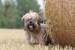 Le jeune Jupi de la Vallée Céleste - Tibetan Terrier