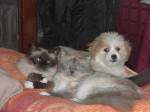Kaminouz et ses complices, sacrés de Birmanie - Tibetan Terrier