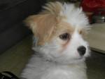 Kaminouz petite Terrier Tibétaine de 4 mois - Tibetan Terrier (4 months)