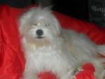 Kaminouz a 9 mois - Tibetan Terrier (9 months)