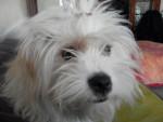 Portrait Kaminouz Terrier du Tibet a 9 mois - Tibetan Terrier (9 months)