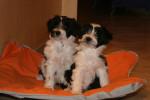 Deux adorables chiots Terriers du Tibet - Tibetan Terrier