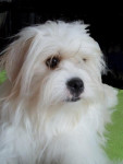 Kaminouz a maintenant 2 ans - Tibetan Terrier (2 years)