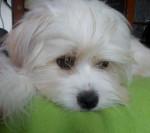 Beau portrait de Kaminouz - Tibetan Terrier
