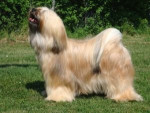 Sassy - Tibetan Terrier (2 years)