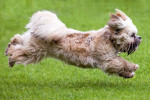 Tibetan Terrier picture