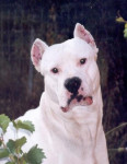 White Démon - Dogo Argentino (4 years and a half)