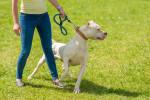 Dogo Argentino picture