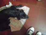 Ay mi chiquitita!! - Welsh Terrier (11 months)