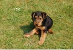 clovis - Male Welsh Terrier (4 years)