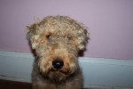 Cardiff - Male Welsh Terrier