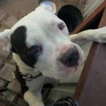 Emma - Staffordshire bull terrier (1 year)