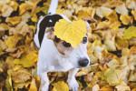 Un Jack Russel avec une feuille jaune posée sur la tête