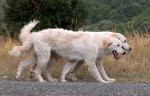 Abruzzese Mastiff picture