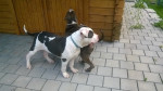 Jack & Paul (Tierheim) - Male American bulldog (6 months)