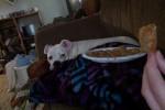 Lambchop - American bulldog (6 years)