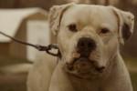 American bulldog picture