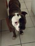 Guidance - Male American bulldog (11 months)