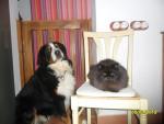 Martin y Missurie - Male Appenzeller Sennenhund (4 years)