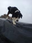 Sam :) - Male Appenzeller Sennenhund (6 years)
