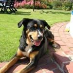 Butch ^-^ - Male Appenzeller Sennenhund (7 years)