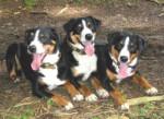 Bouvier d'Appenzell - Appenzeller Sennenhund