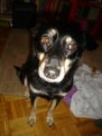 Nayka bordercollieXBouvier d'Appenzell - Appenzeller Sennenhund