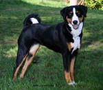 Appenzeller Sennenhund picture
