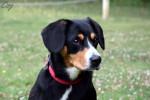 Ginga - Entlebucher Sennenhund (6 years)