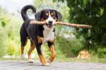 Entlebucher Sennenhund picture