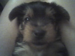 Goofy - Male Yorkshire Terrier (1 month)