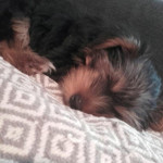 mika - Yorkshire Terrier (1 month)