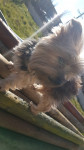 Snoopy - Male Yorkshire Terrier (8 years)