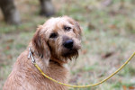 Styrian Coarse-haired Hound picture
