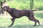 ERACLES BRAQUE ALLEMAND A POIL COURT - German shorthaired pointer