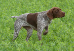 French Pointing Dog - Gascogne type picture