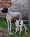 jiscara du pont du riot d'esnes et Paprika des anges rêvés d'Acq - French Pointing Dog - Gascogne type (5 years and 5 months)