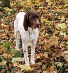Paprika des Anges rêvés d'Acq - French Pointing Dog - Gascogne type (4 months)