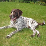 Jara - French Pointing Dog - Pyrenean type (8 years)