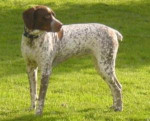 Braque Français Type Pyrénées - French Pointing Dog - Pyrenean type
