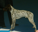 French Pointing Dog - Pyrenean type picture