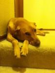 Daisy - Vizsla (3 years)