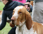 Bracco Italiano picture