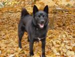 Percy - Male Norwegian Buhund (4 years)