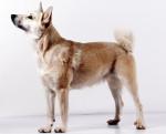 Norwegian Buhund picture