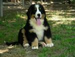 Laika - Bernese Hound (1 month)